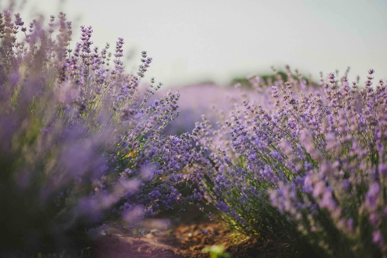 Kiedy Scinac Kwiaty Lawendy By Roslina Ponownie Zakwitla Blog Uprawiaj Pl
